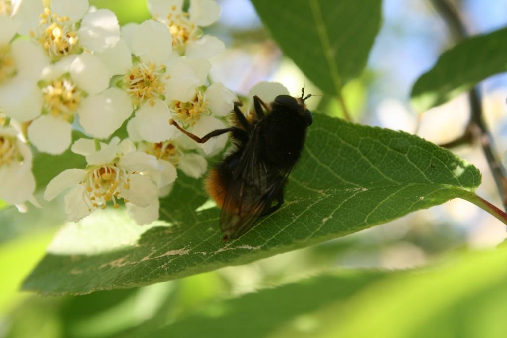 Blomflugor hägg_20140521_1983