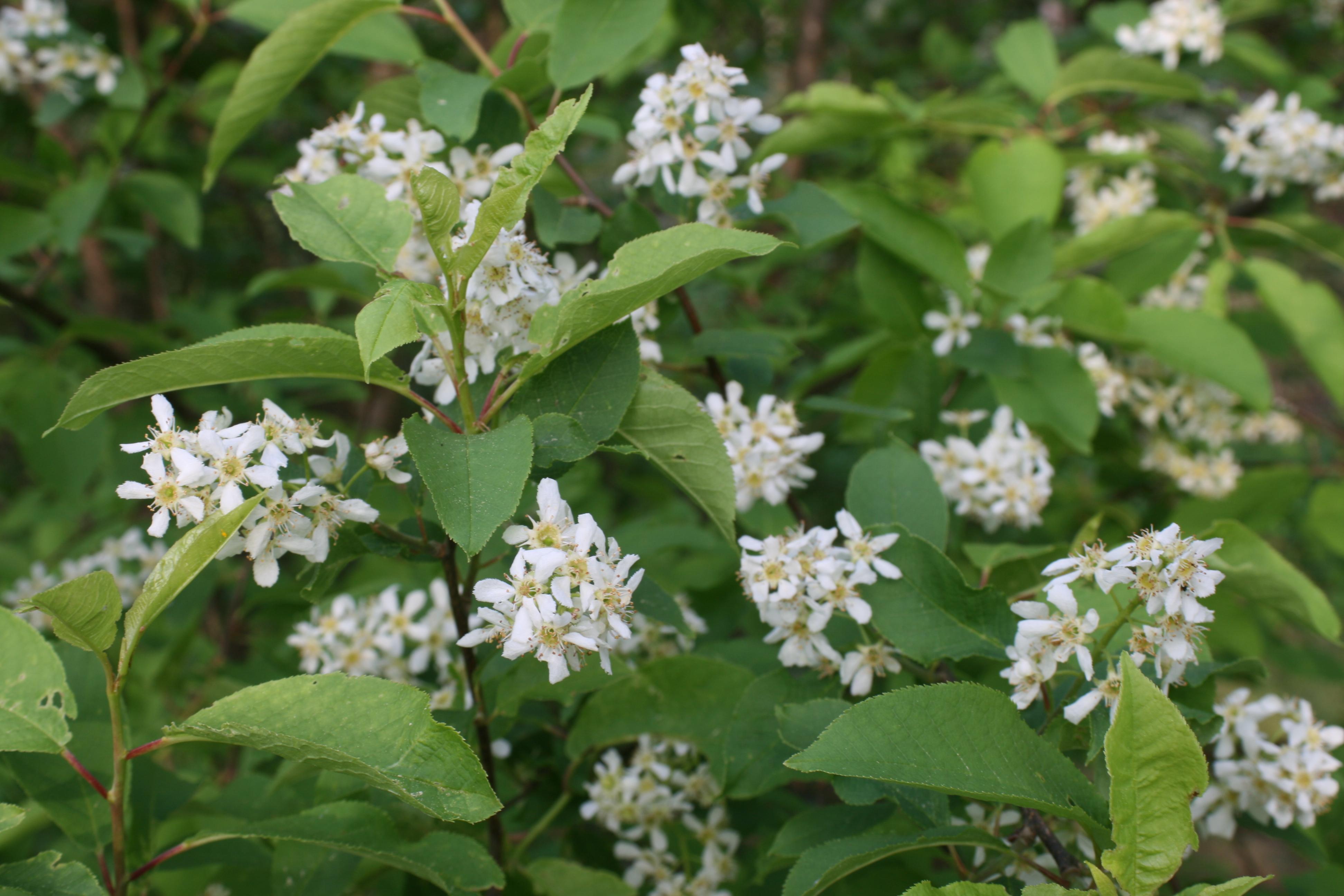 Hägg Prunus padus